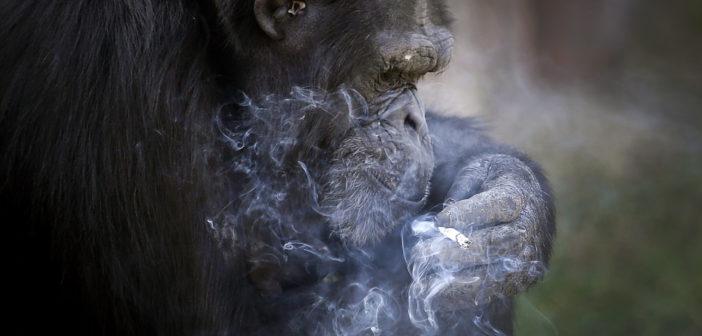 """""""Lo dice la scienza"""", un esempio pratico di debunking: lo scimpanzé è più evoluto dell'uomo"""